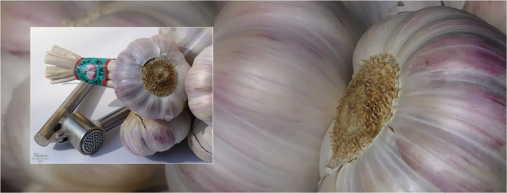 BLOG-P1030059-40-bannière ail rose du Tarn