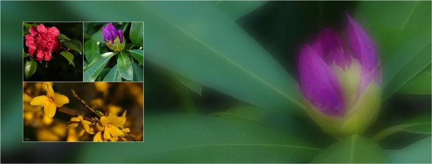 BLOG-trio fleurs 2-P1030005 flou-bannière rhododendron