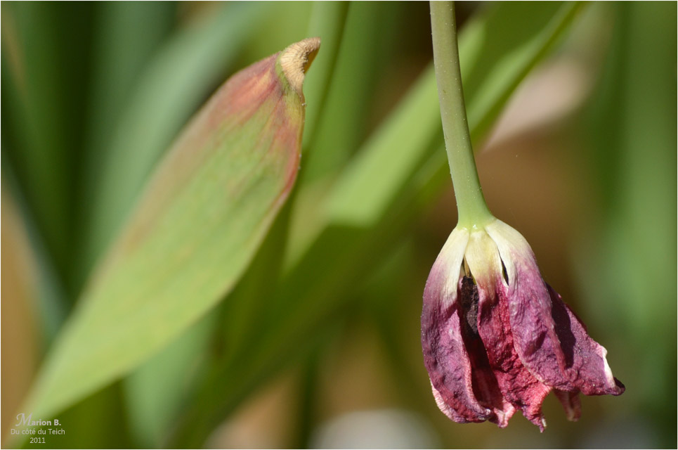BLOG-DSC_04319-tulipe fanée