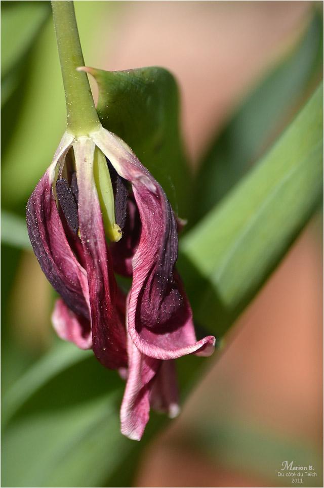 BLOG-DSC_04320-tulipe fanée
