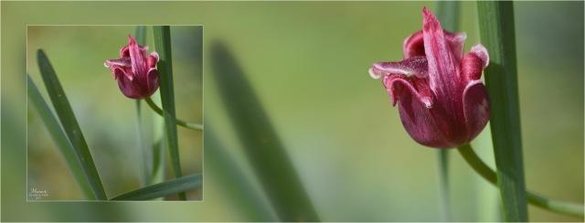 BLOG-DSC_04329-bannière tulipe fanée et feuilles