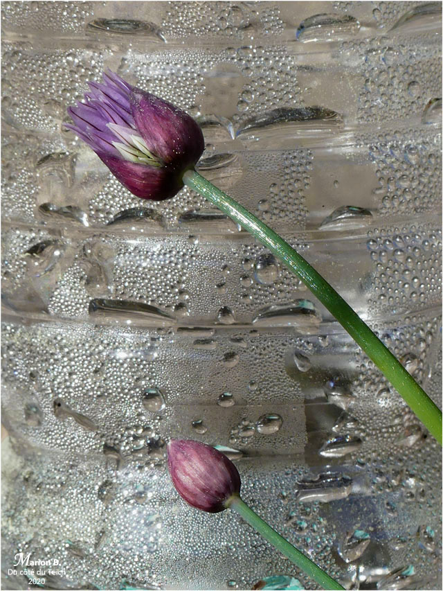 BLOG-P1030137-fleurs ciboulette et bouteille
