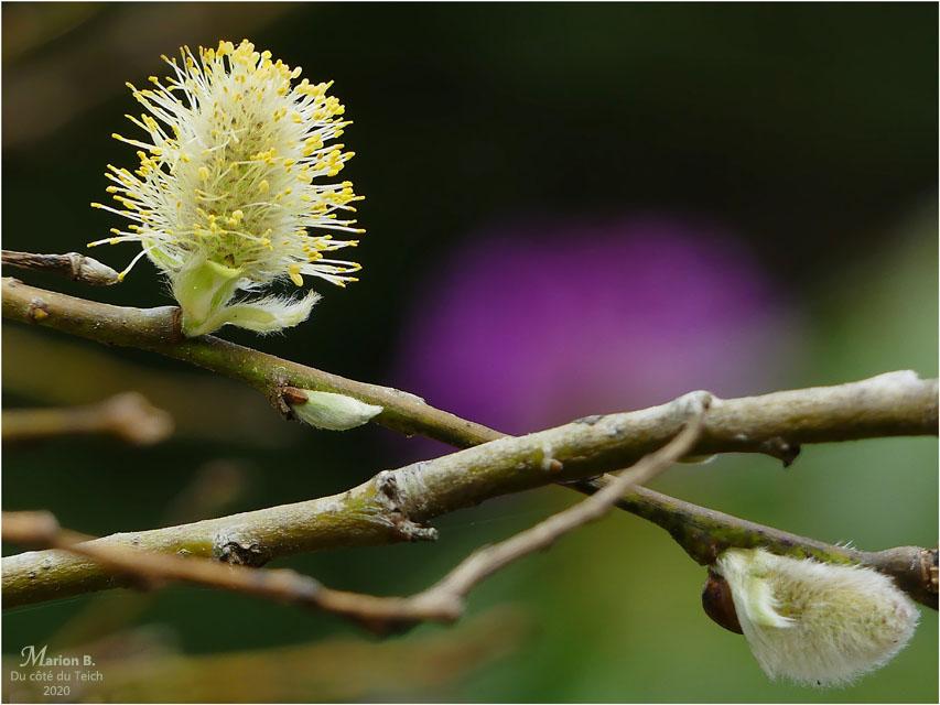 BLOG-P1030189-salix et rhododendron
