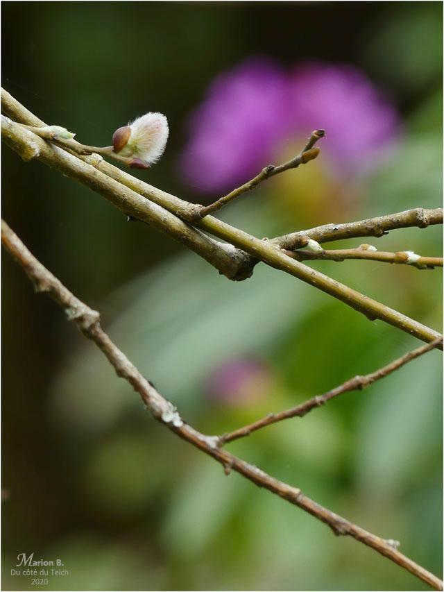 BLOG-P1030191-salix et rhododendron