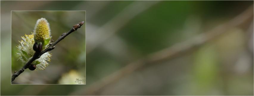 BLOG-P1030296-2-303-bannière chatons saule marsault pleureur