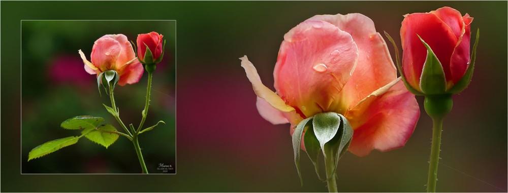 BLOG-P1030517-2-bannière rosier Martin des senteurs et goutte de pluie