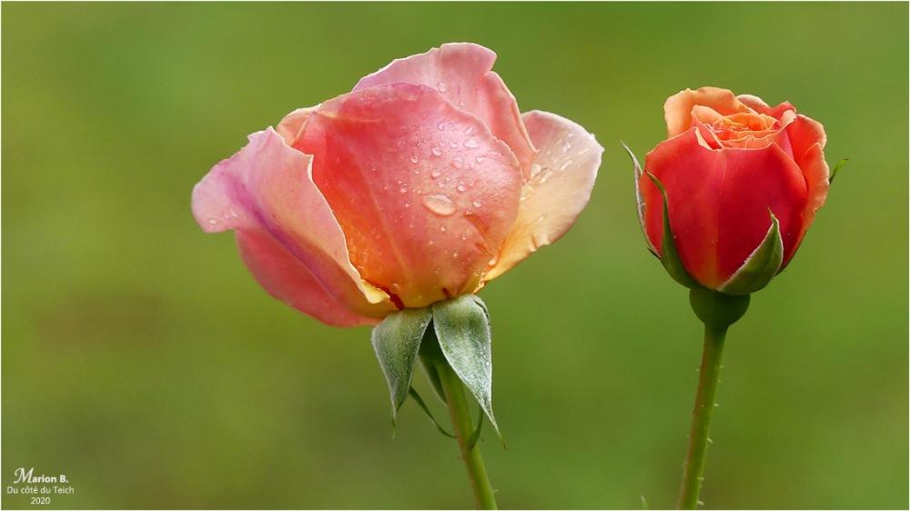 BLOG-P1030525-rosier Martin des senteurs et goutte de pluie