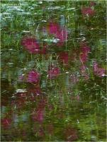 BLOG-P1030622-reflet rhododendrons jardin inondé 11 Mai 2020