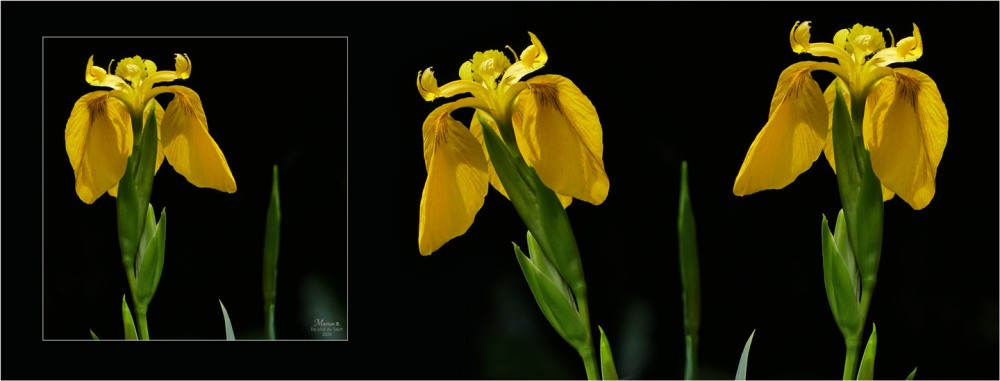 BLOG-P1030699-bannière 3 iris jaunes