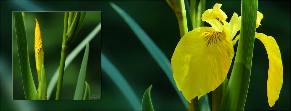 BLOG-P1030713-734-bannière iris jaune