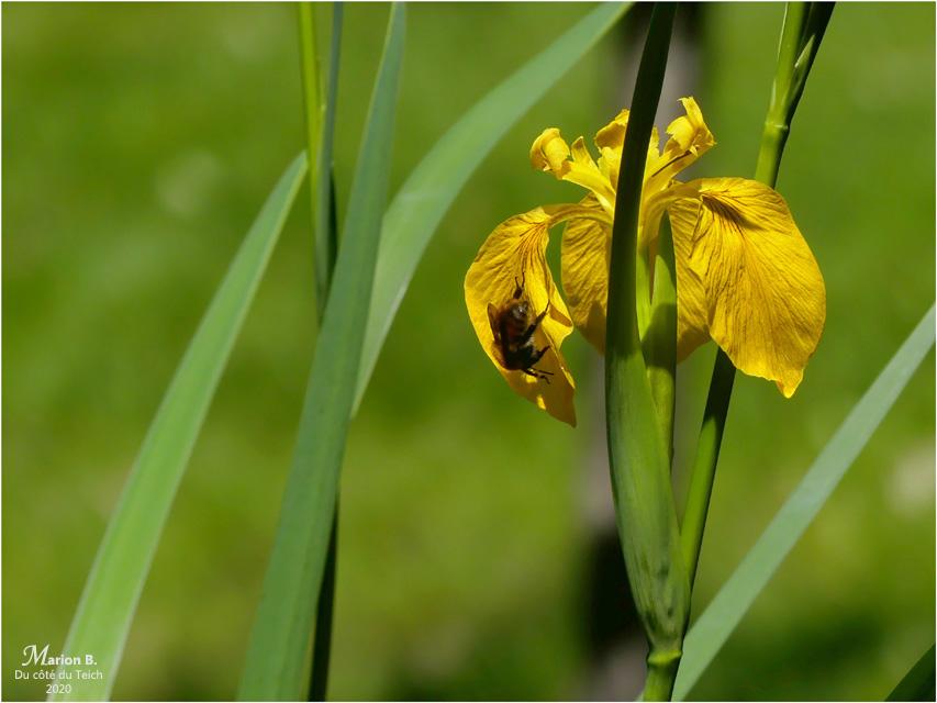BLOG-P1030720-iris jaune