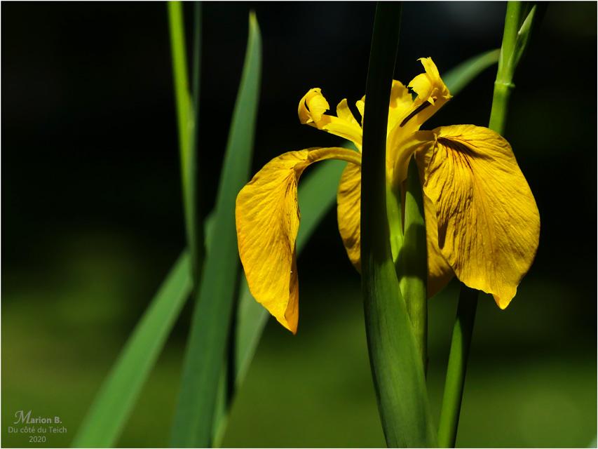BLOG-P1030721-iris jaune