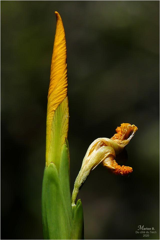 BLOG-P1030722-iris jaune