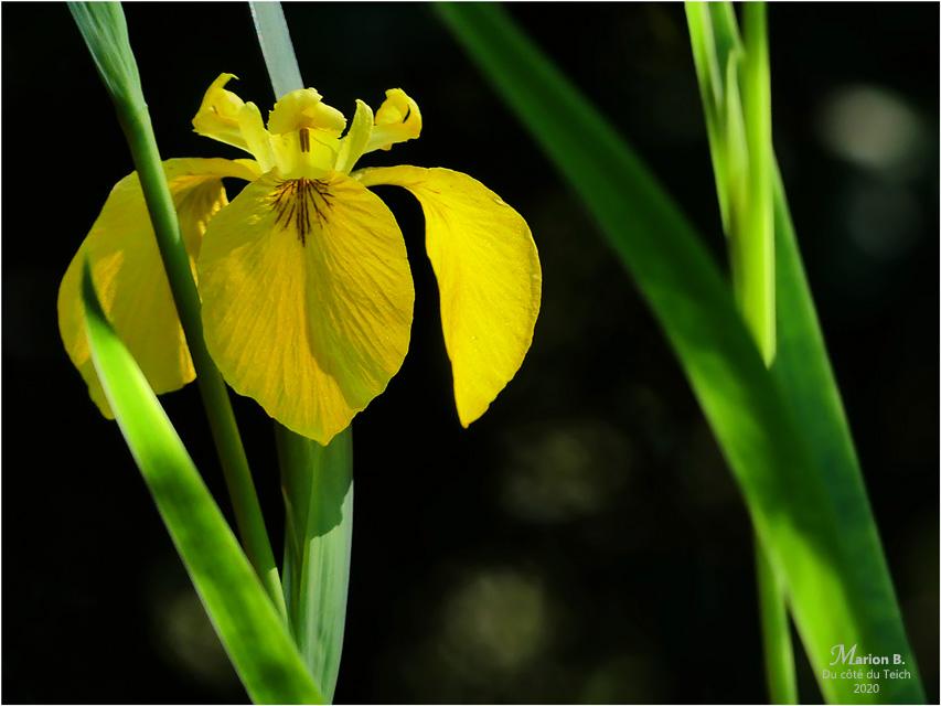 BLOG-P1030731-iris jaune