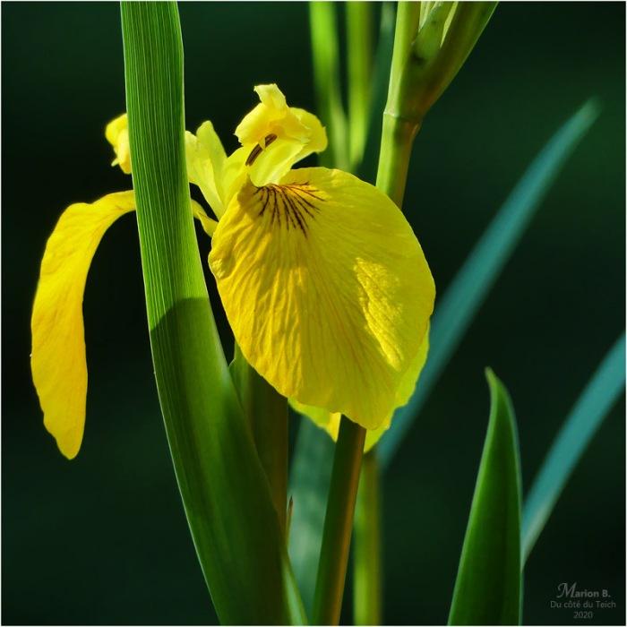 BLOG-P1030733-iris jaune