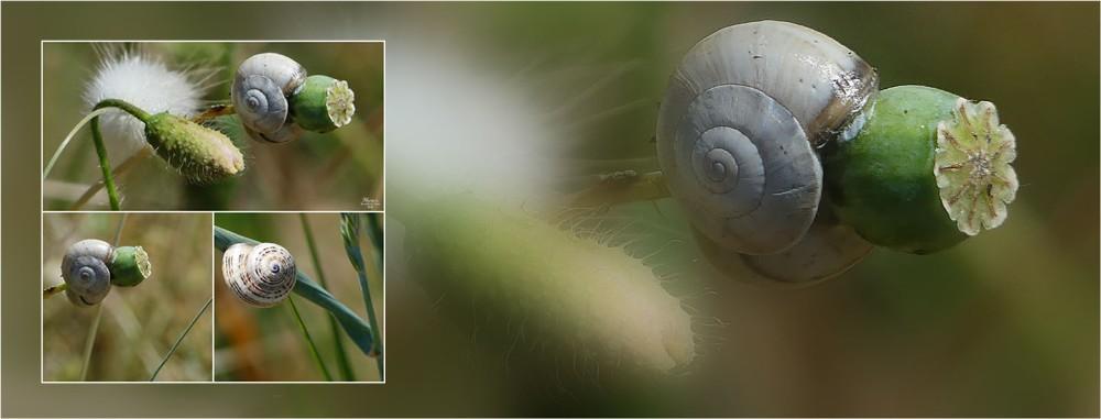 BLOG-P1030888-bannière trio escargots sur coquelicot