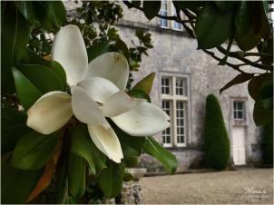 BLOG-P1040426-magnolia château Cazeneuve 33