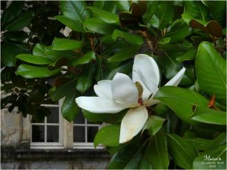 BLOG-P1040428-magnolia château Cazeneuve 33