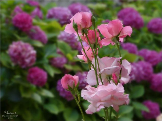 BLOG-P1040459-roses hortensias château Cazeneuve 33