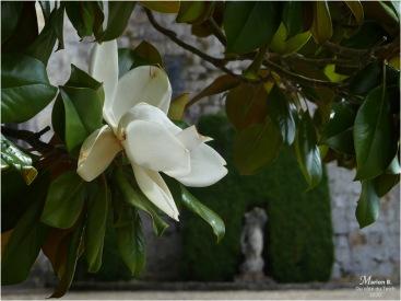 BLOG-P1040467-magnolia château Cazeneuve 33