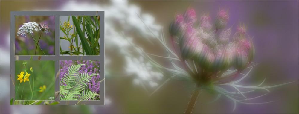 BLOG-P1040356-bannière ombellifères et bruyère floues et 4 vues plantes étang